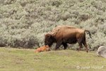 Female bison nuzzling her calf