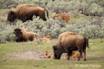 Female bison and calves