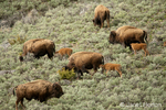 Female bison and calves eating on a hillside