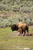 Female bison with open mouth and calves