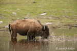 Bison with a starling on its back, drinking in a pond