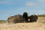 Bison dust-bathing to relieve itching and insects in a wallow in National Bison Range, Montana.