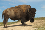 Bison standing up in a dust wallow