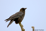 American Crow sitting on branch