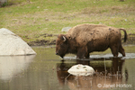 Bison walking in a pond