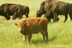 Bison calf and four adult bison