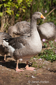 Female Pilgrim Geese at liberty at Dog Mountain Farm