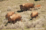 Herd of bison females and calves walking down a hill