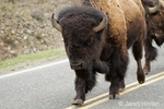 Bison herd walking down the middle of a road
