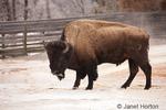 Bison standing in calcium carbonate deposits in Mammoth Hot Springs