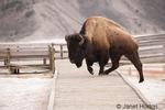 Bison climbing on boardwalk in calcium carbonate deposits in Mammoth Hot Springs