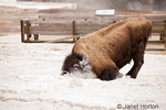 Bison rolling in calcium carbonate deposits in Mammoth Hot Springs