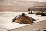 Bison rolling in calcium carbonate deposits in Mammoth Hot Springs