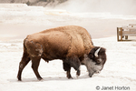 Bison with calcium carbonate deposits on itin Mammoth Hot Springs