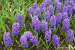 Cluster of Blue Jacket Hyacinths