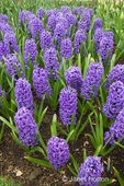 Cluster of Blue Jacket Hyacinths