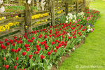 Abra (dark red) tulips and other spring bulb flowers by wood fence