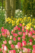 Gander's Rhapsody tulips and yellow Daffodils by tree trunk 