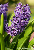King of the Blues Hyacinths close-up