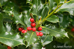 English Holly with fruit