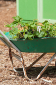 Wheelbarrow of strawberry plants ready to plant, next to a shed