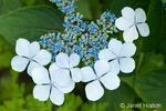 Bluebird Hydrangea close-up