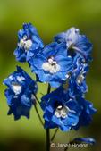 Guardian Early Blue Larkspur in my backyard