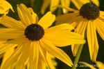 Black-eyed Susan flowers in the Hiram Chittenden Locks gardens