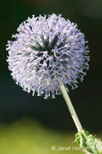 Small Globe Thistle flower close-up in the Hiram Chittenden Locks gardens 