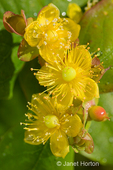 Golden St. John's Wort flower close-up in the Hiram Chittenden Locks gardens