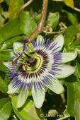 Blue Crown Passion Flower close-up in the Hiram Chittenden Locks gardens