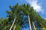 Douglas Fir trees in Squak Mountain State Park