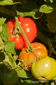Tomatoes on the vine at various states of ripeness in a garden
