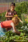 Two girls (ages eight and ten) harvesting strawberries and broccoli gone to flower, from their raised bed community pea patch garden