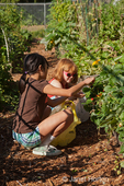 Two girls (ages eight and ten) harvesting strawberries from their own raised bed garden at a community garden