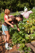 Two girls (ages eight and ten) harvesting and cutting off dead stems from strawberries from a raised bed garden at a community garden