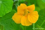 Nasturtium Jewel Series yellow trumpet-shaped flower close-up