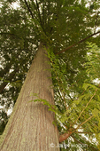 Looking up at a Western Red Cedar tree in Squak Mountain State Park