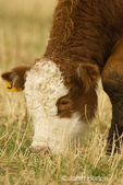 Close-up portrait of a Hereford cow eating in a field