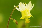 Yellow Columbine wildflower