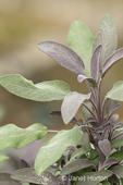 Purple Garden Sage plant