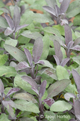 Purple Garden Sage plants