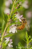 Honeybee pollinating Winter Savory herb