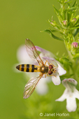 Hover Fly, American Hover Fly or Flower Fly pollinating Winter Savory herb growing