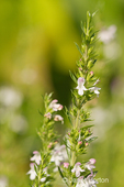 Winter Savory herb growing