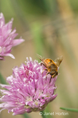 Honeybee pollinating chives blossom