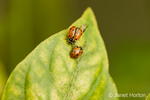 Two Convergent ladybird beetles, commonly known as ladybugs, on a Golden Star sweet bell pepper leaf in a garden