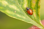 One Convergent ladybird beetle, commonly known as a ladybug, on a Golden Star sweet bell pepper leaf with aphids, in a garden
