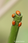 Four Convergent ladybird beetles or lady beetles, commonly known as ladybugs, on a plant stake in a garden