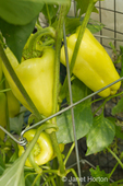 Gypsy hybrid sweet pepper growing around a metal support frame 